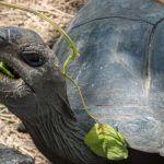 Черепаха ест лист