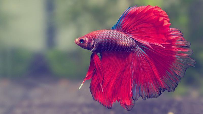 Рыбка с большим хвостом