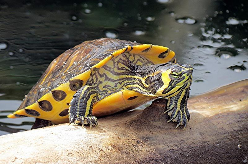 Желтобрюхая черепашка