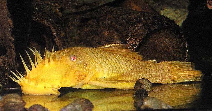 Золотой альбинос