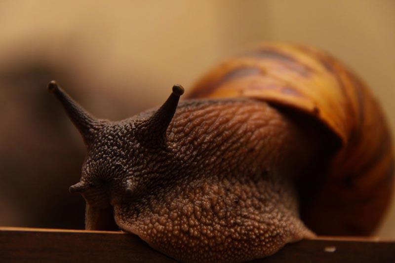 Улитка коричневая