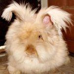 Бежевый ангорский кроль