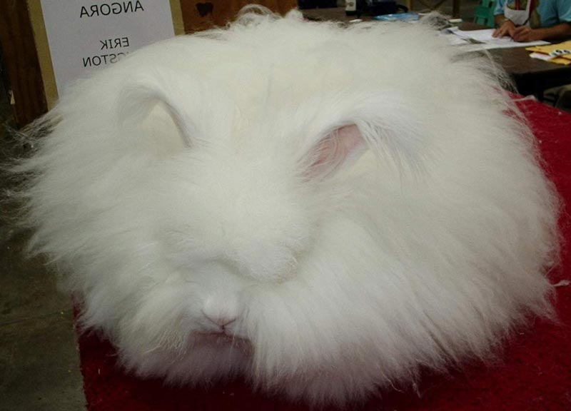 Белый пушистый кроль