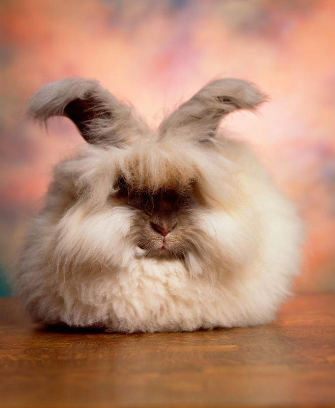 Ангорский кроль