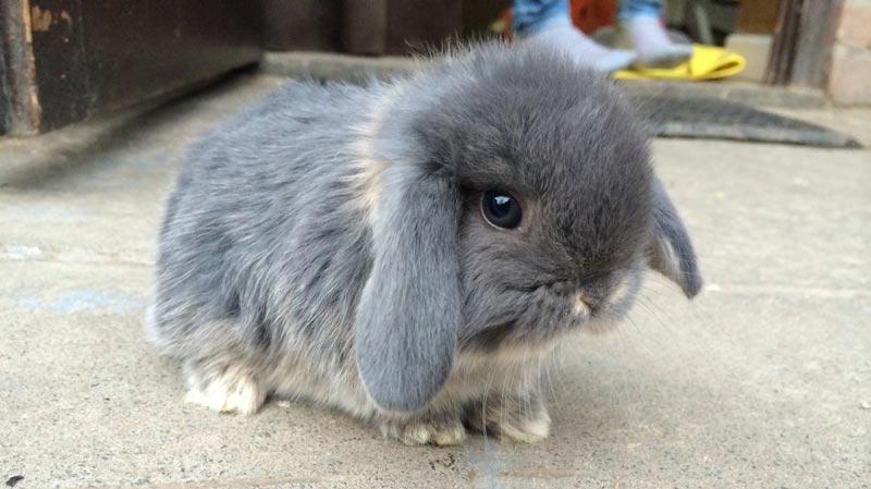 Голландский кролик-баран