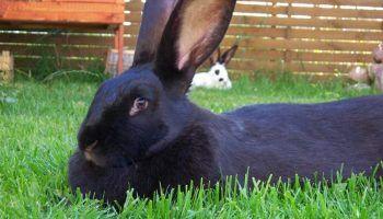 Породы черных и черно-бурых кроликов