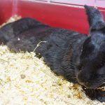 Черный кролик в клетке