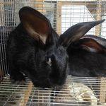 Кроль черного цвета в клетке