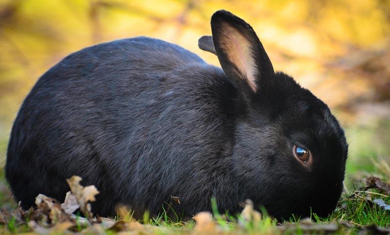 Красивый черный кроль