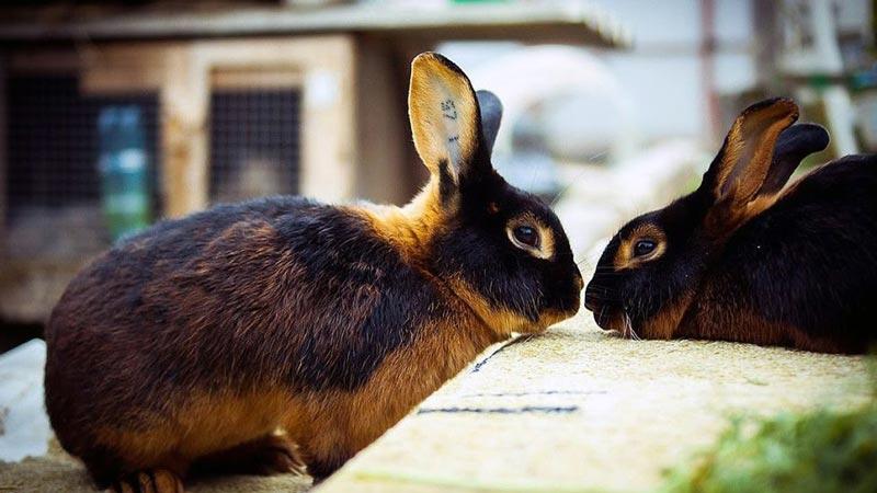 Огненное брюшко у кроля