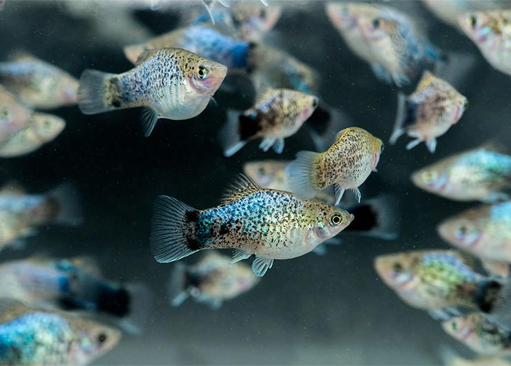 Голубые рыбки-пецилии