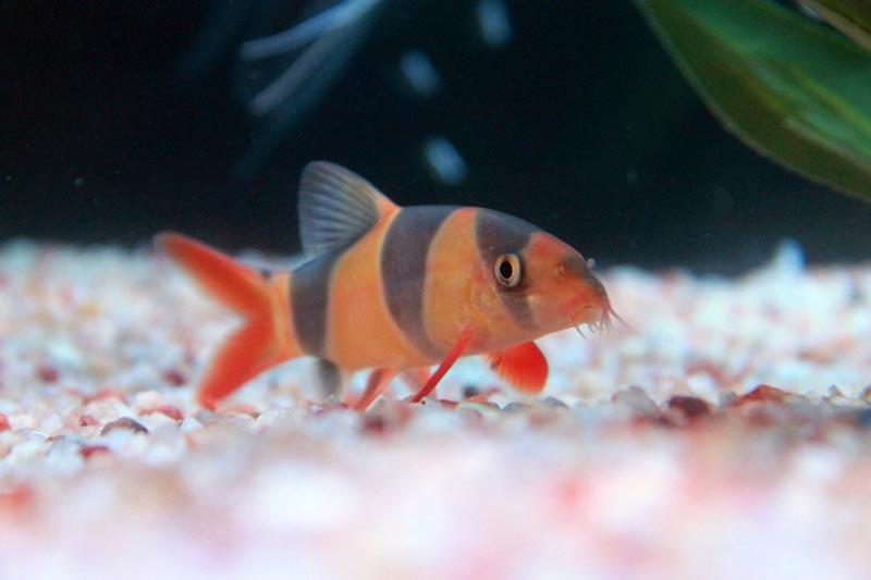 Порода рыбки боциа клоун