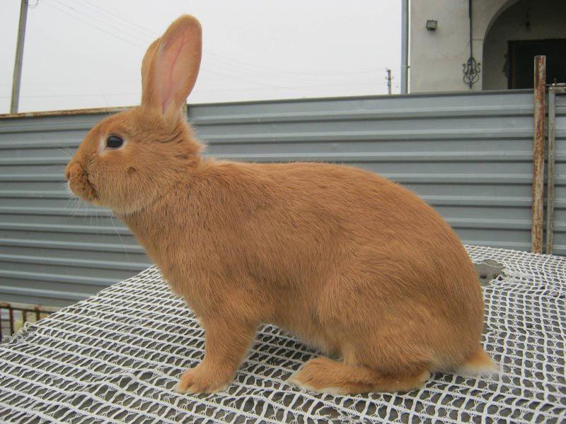 Рыженький кролик