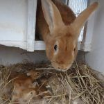 Крольчиха и крольчата