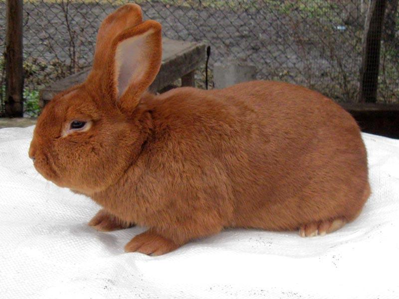 Рыжекрасный кроль