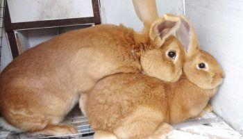 Спаривание или случка кроликов