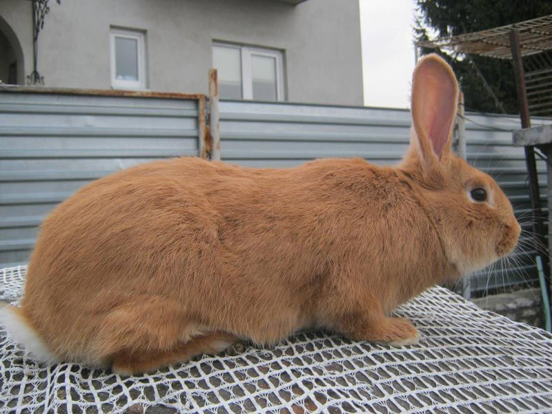 Кроль среднего размера