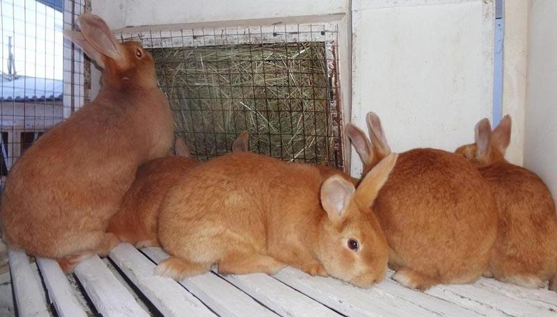 Крольчата бургундской породы