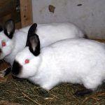 Два кроля калифорнийца