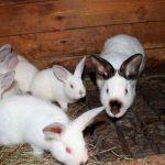 Крольчиха-калифорнийка с малышами