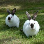 Кролики на выгуле