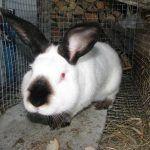 Черные уши у кроля