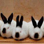 Пять кролей