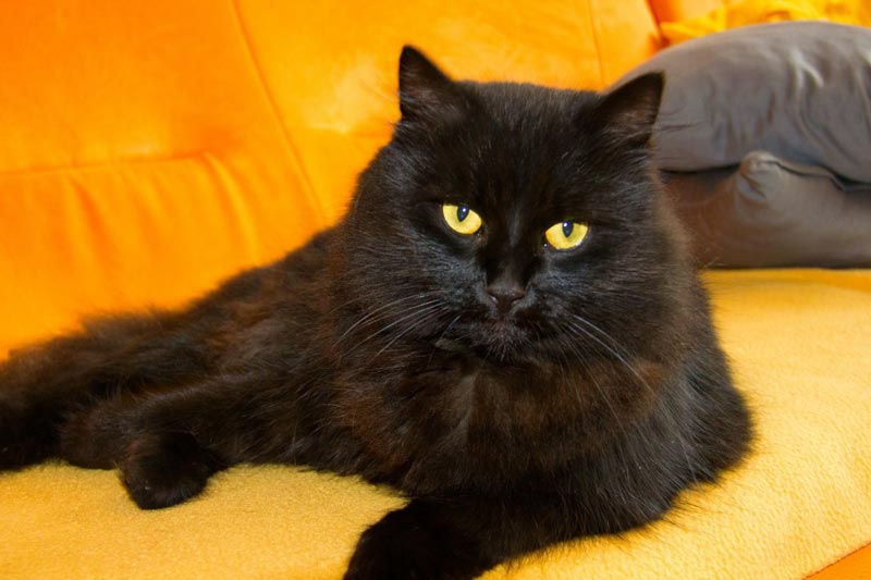 Кошка черного окраса