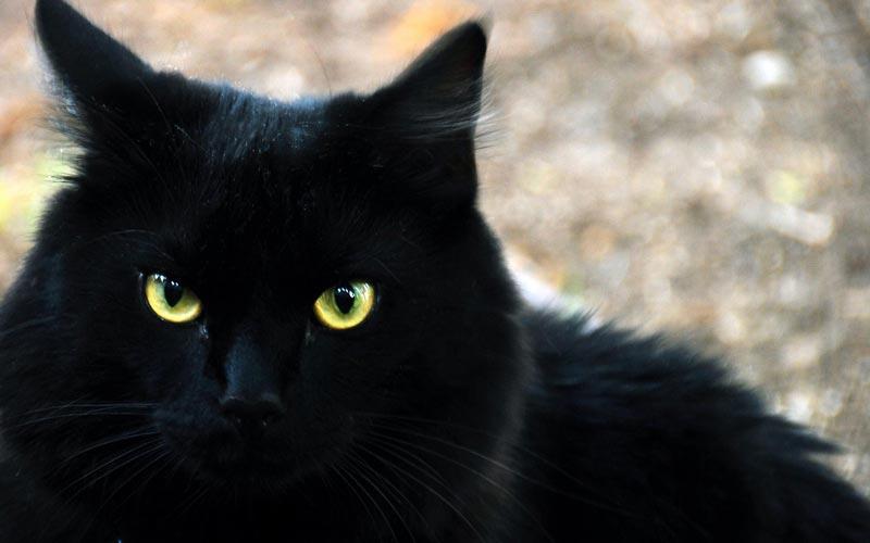 Кошечка черного цвета