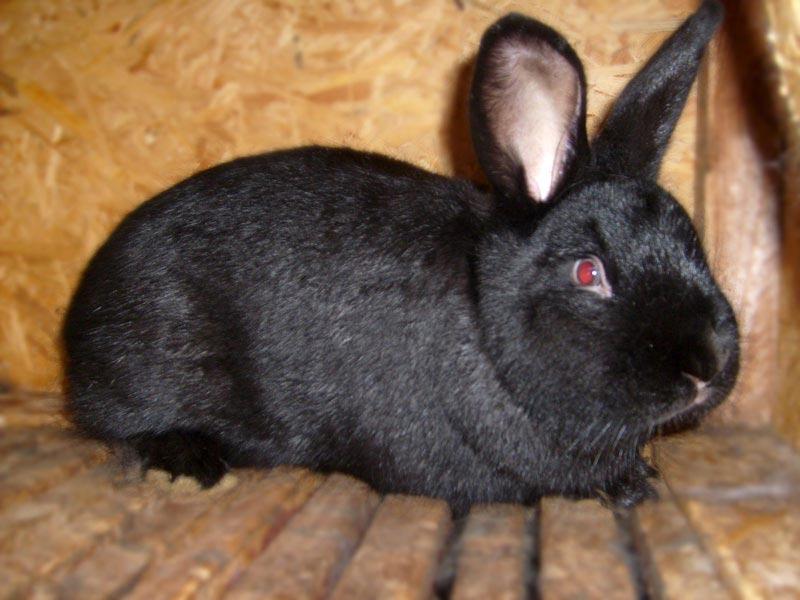 Черный новозеландский кроль