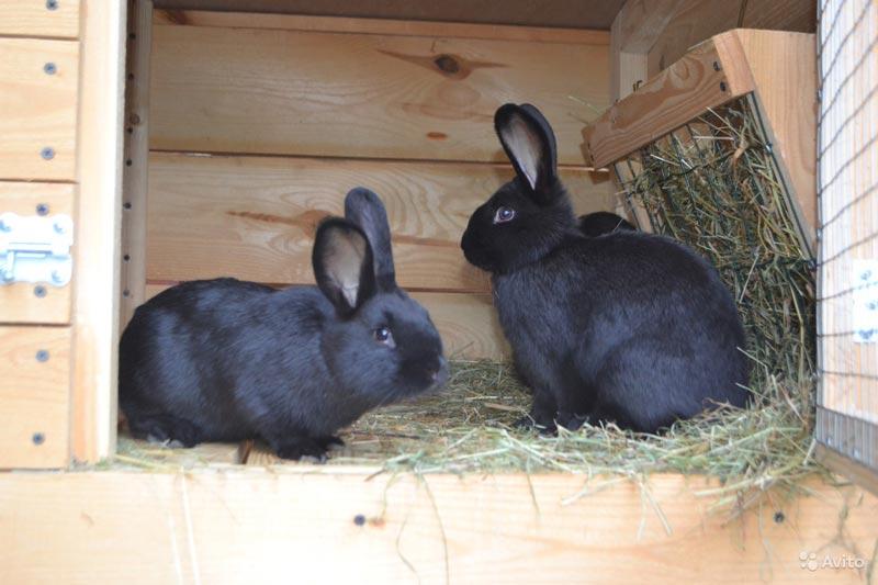 Венские черные кролики