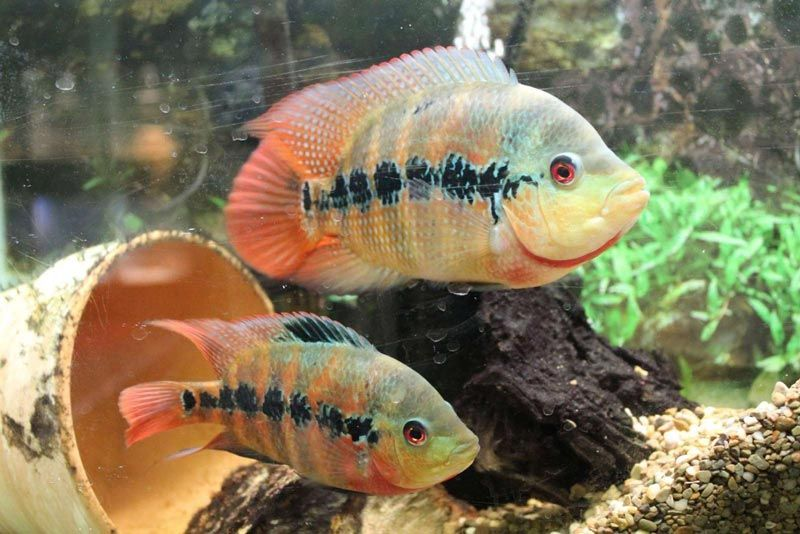 Две рыбки цихлазомы