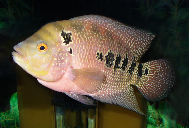 Рыбка цихлида