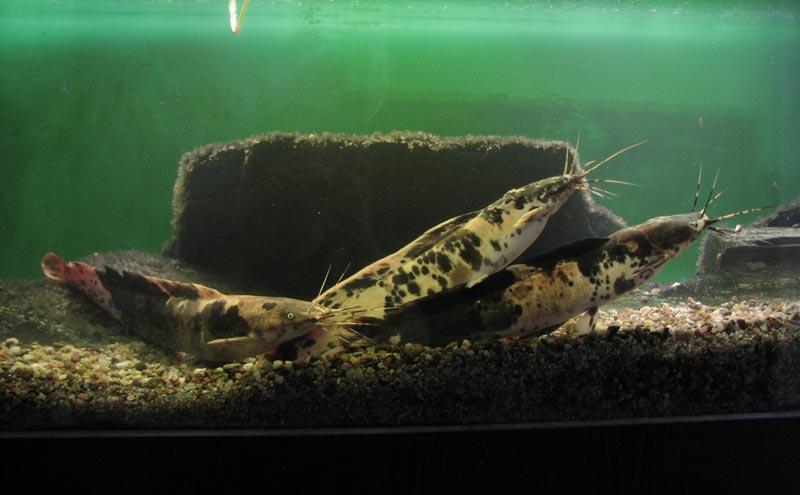 Клариевые сомы в аквариуме