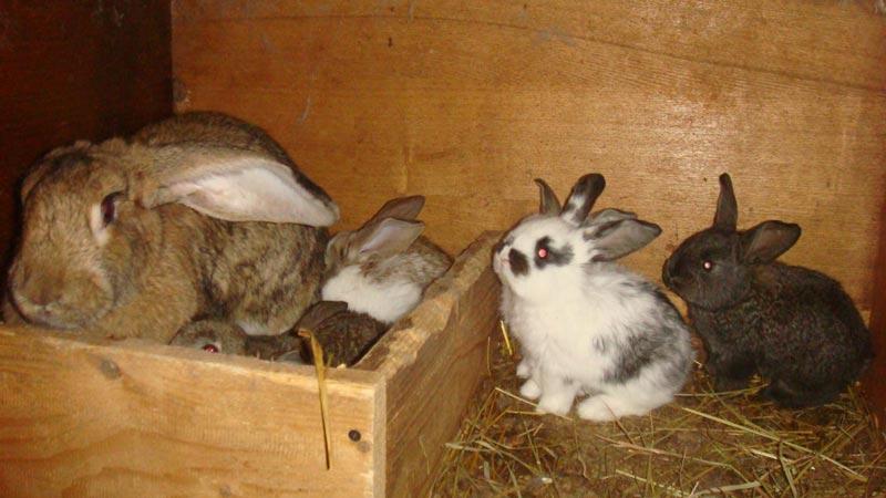 Крольчата едят сено