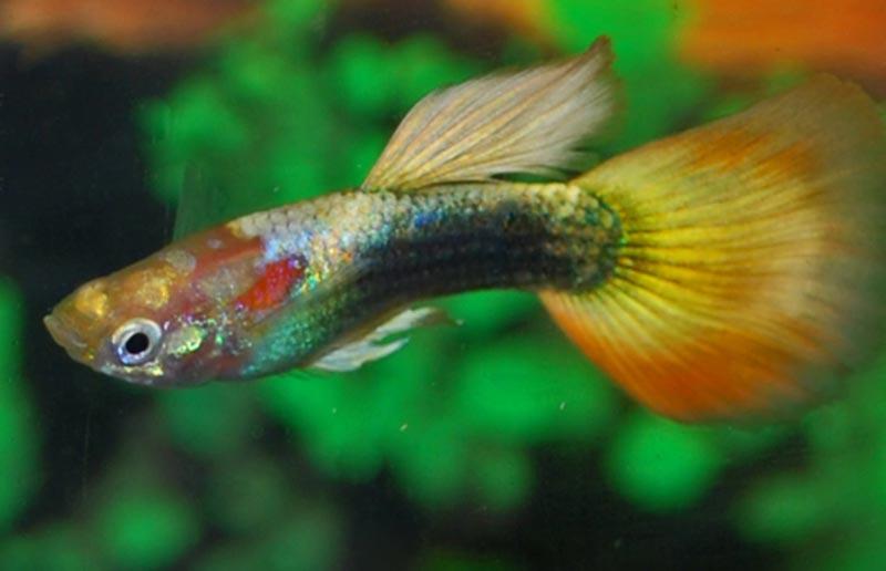 Круглохвостая рыбка