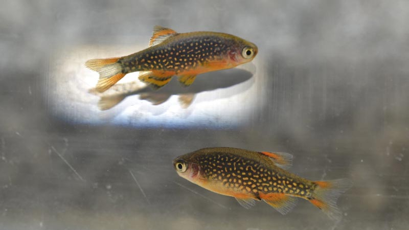 Две светящиеся рыбки данио