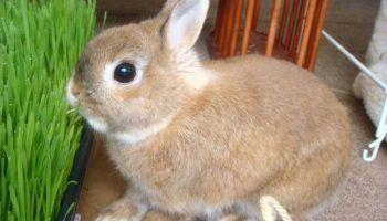 Декоративные кролики и их содержание
