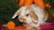 Чем кормить декоративного кролика