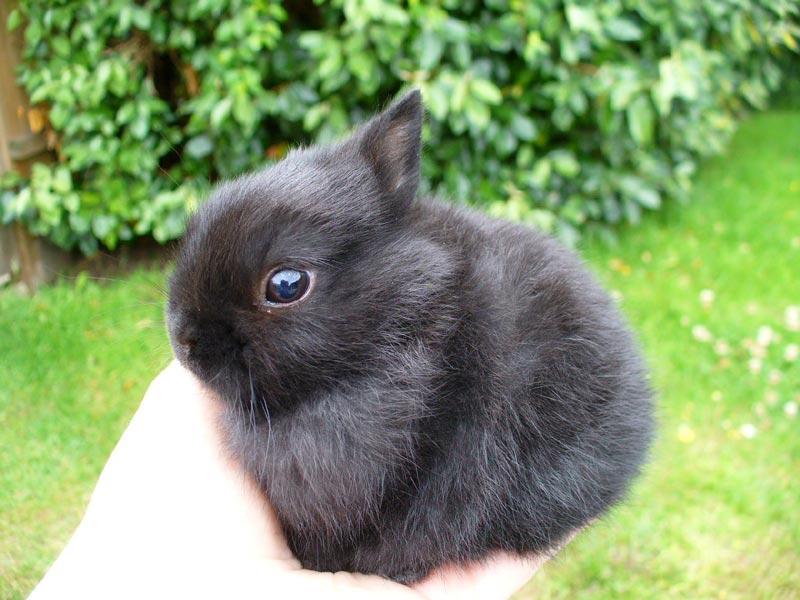 Черный кроль