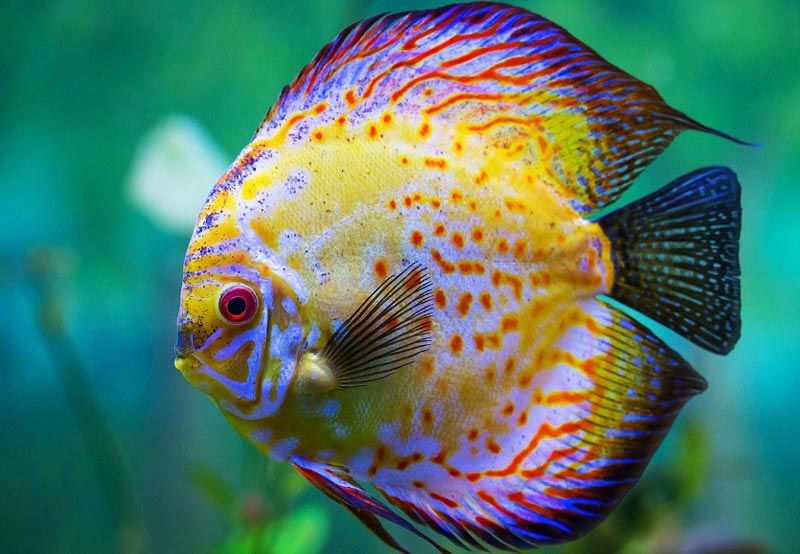 Рыбки дискус