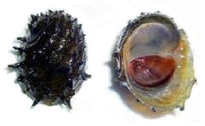 Neritina juttingae