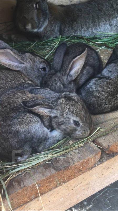 Крольчатки от фландра