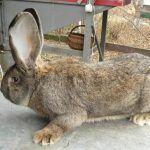 Кроль породы фландр