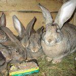 Крольчиха и крольчата породы фландр