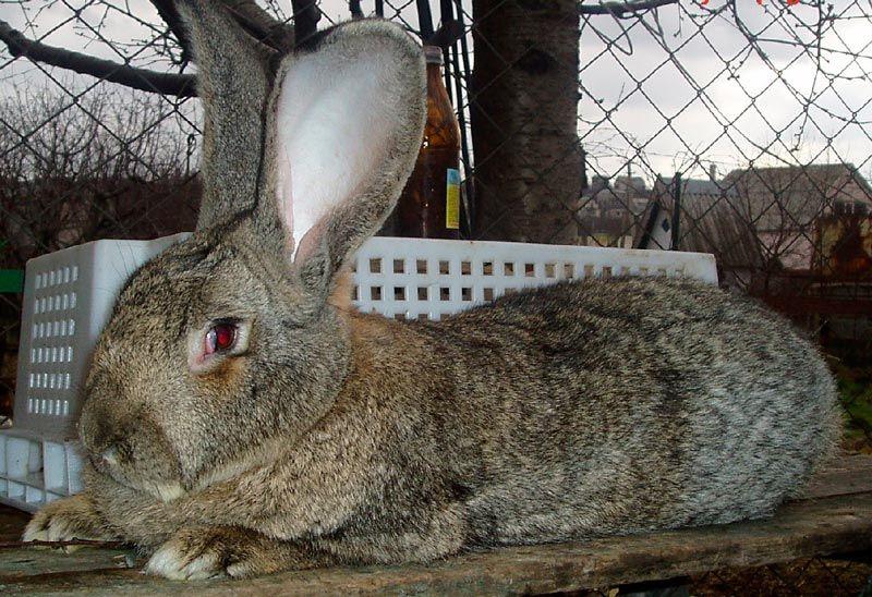 Кроль большого размера