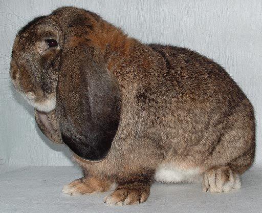 Немецкий кроль-баран