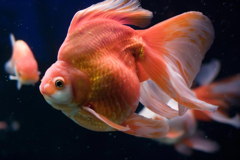 Рыбка золотая в воде