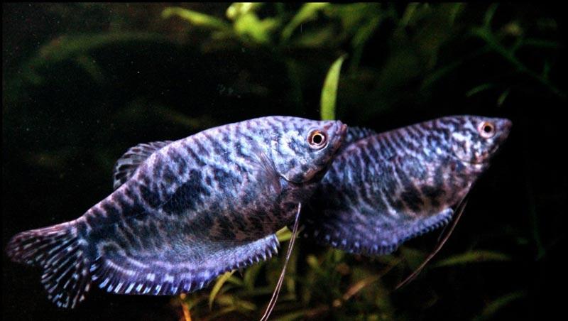 Полосатая рыба гурами
