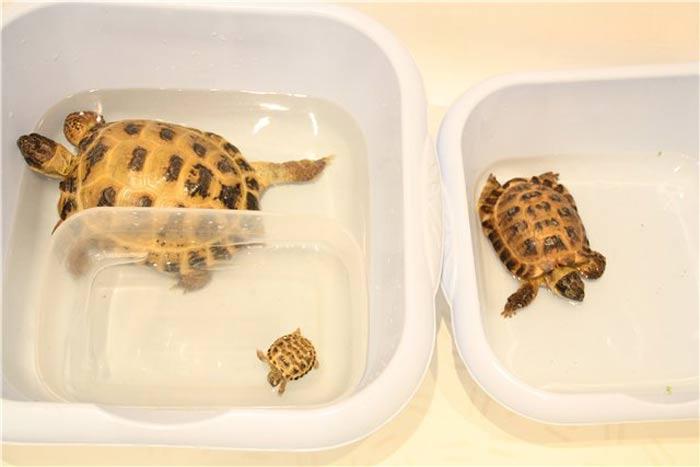 Купание сухопутных черепах